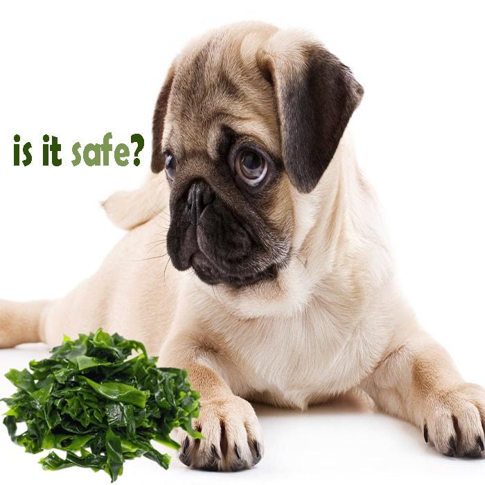 Can My Dog Eat Seaweed