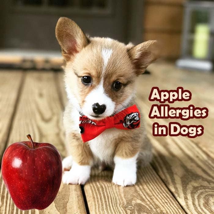 Apple Allergies in Dogs