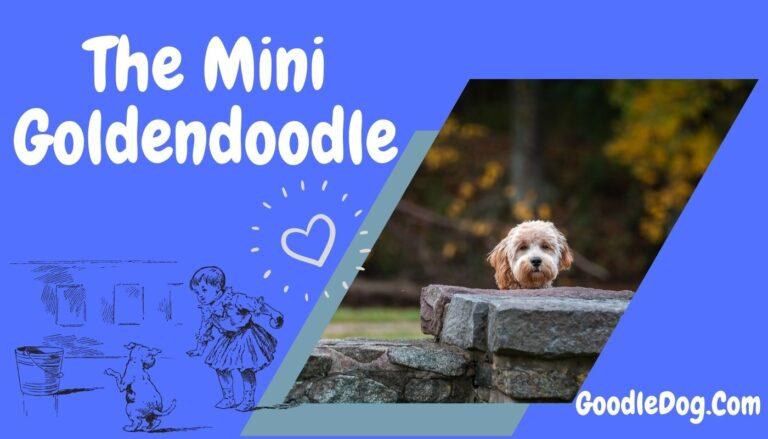 The Mini Goldendoodle